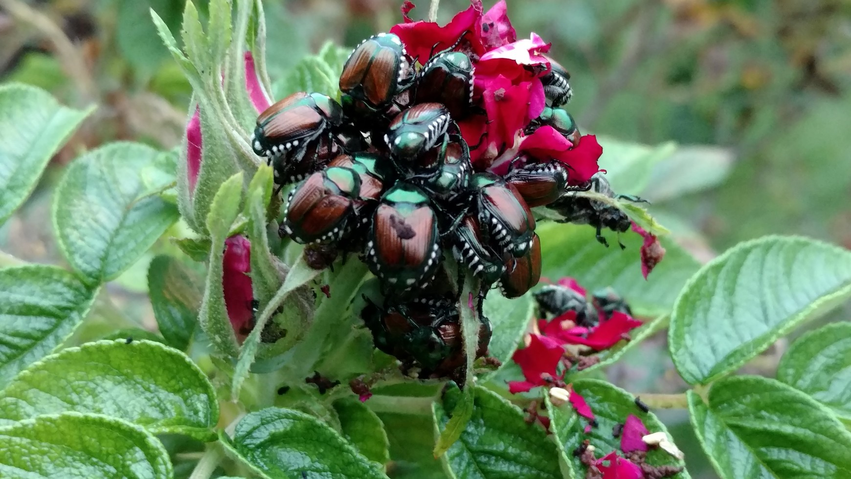 Japanese Beetles in Minnesota