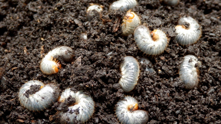 How To Get Rid Of White Grubs In Flower Beds