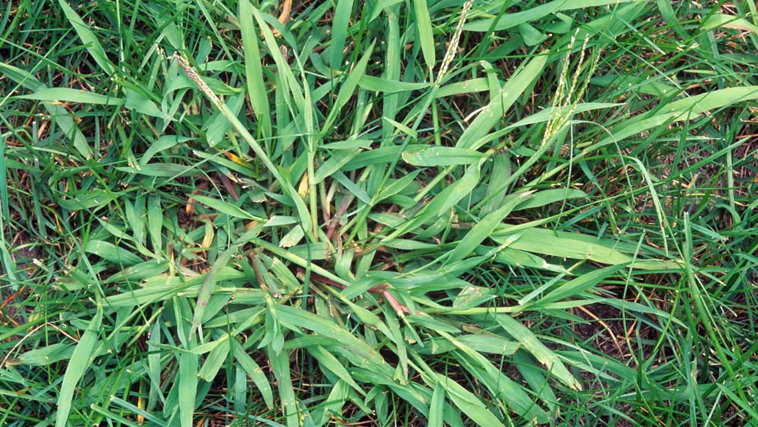 Crabgrass Control, Crabgrass Control, Lawn Care Service Minneapolis, Lawn Care Service Minneapolis