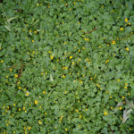 Got Weeds? Combating Weeds in your Minnesota Lawn!