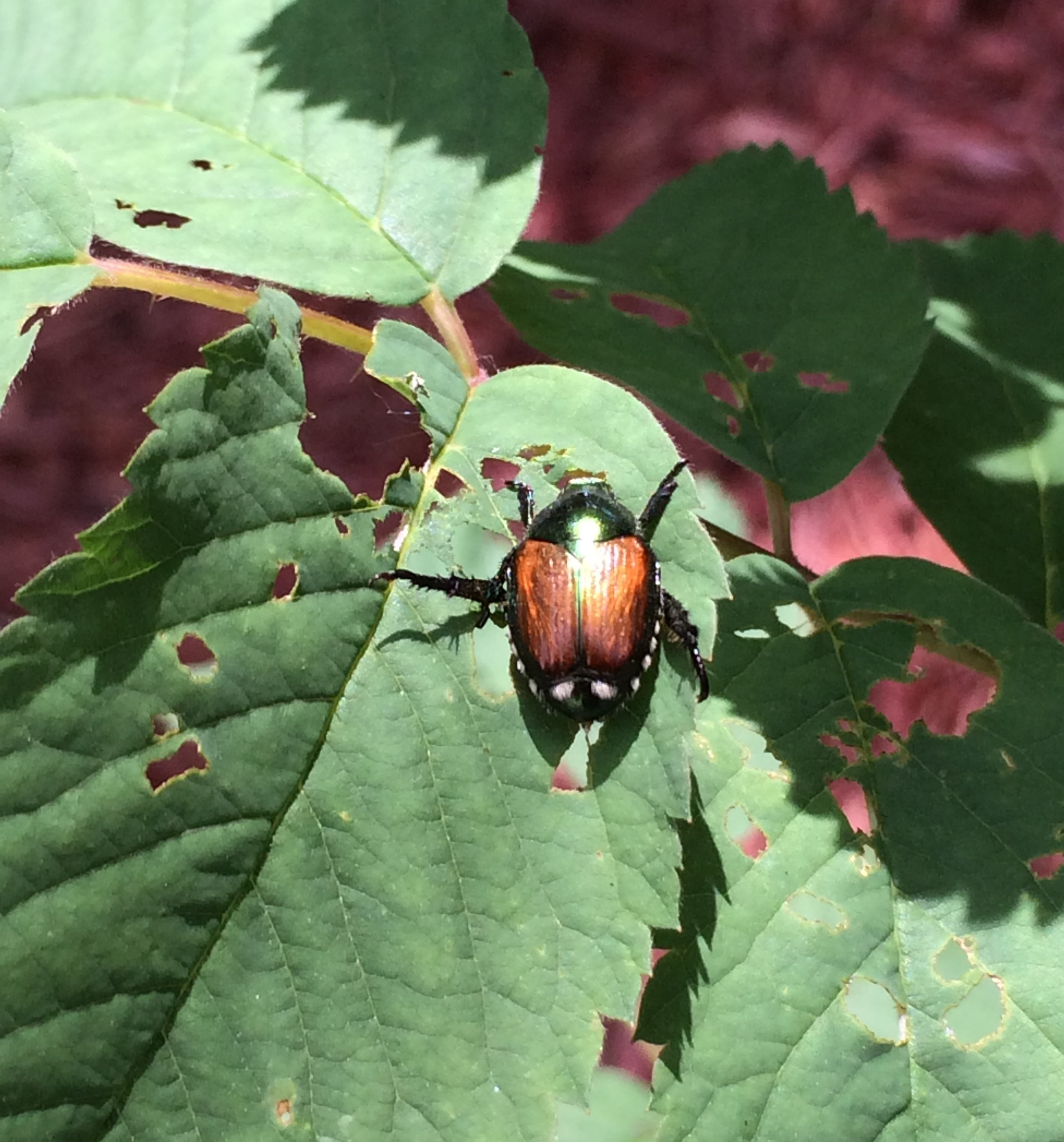 struggles with japanese beetles and grubs